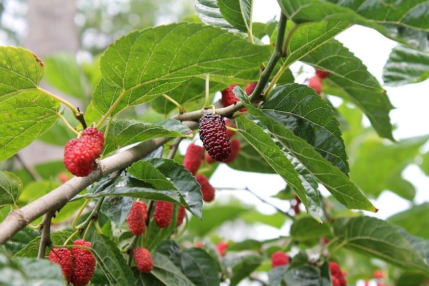 maulbeerbaum schneiden